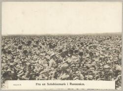 468/1404. Fra en Solsikkemark i Rumænien.