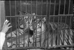 Tigre i bur